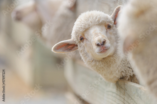 Tuinposter Schapen sheep breeding and farming - Schaf Aufzucht