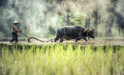 Rice farming with buffalo Canvas Print