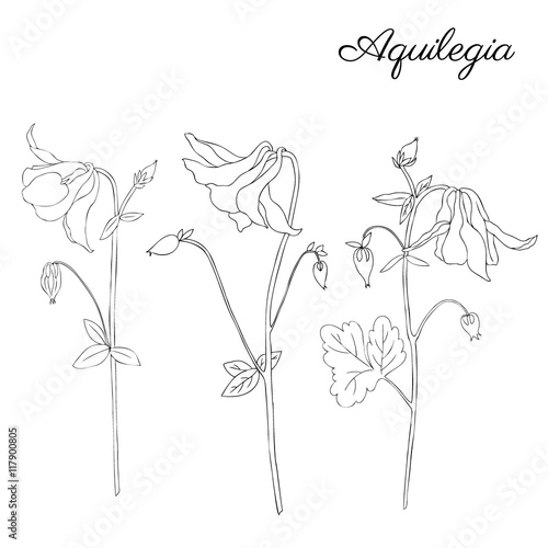 Photo Aquilegia flower hand drawn graphic vector botanical illustration, doodle ink sk