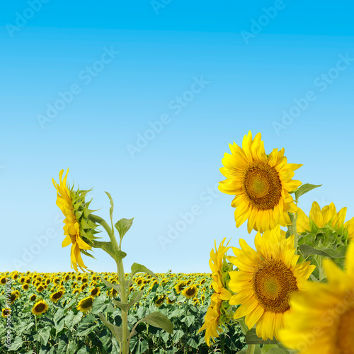 In de dag Narcis image of sunflowers in a field close-up