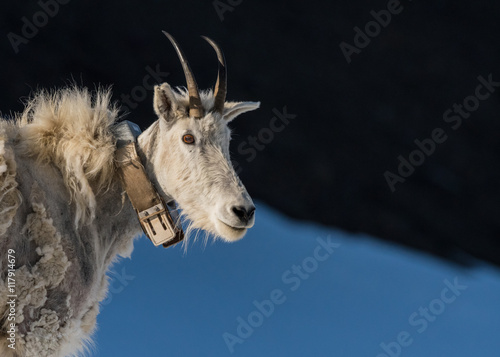 Adult Mountain Goat Wearing Research Collar with Copy Space
