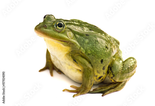 Tuinposter Kikker Rana esculenta. Green ,European or water, frog on white background.