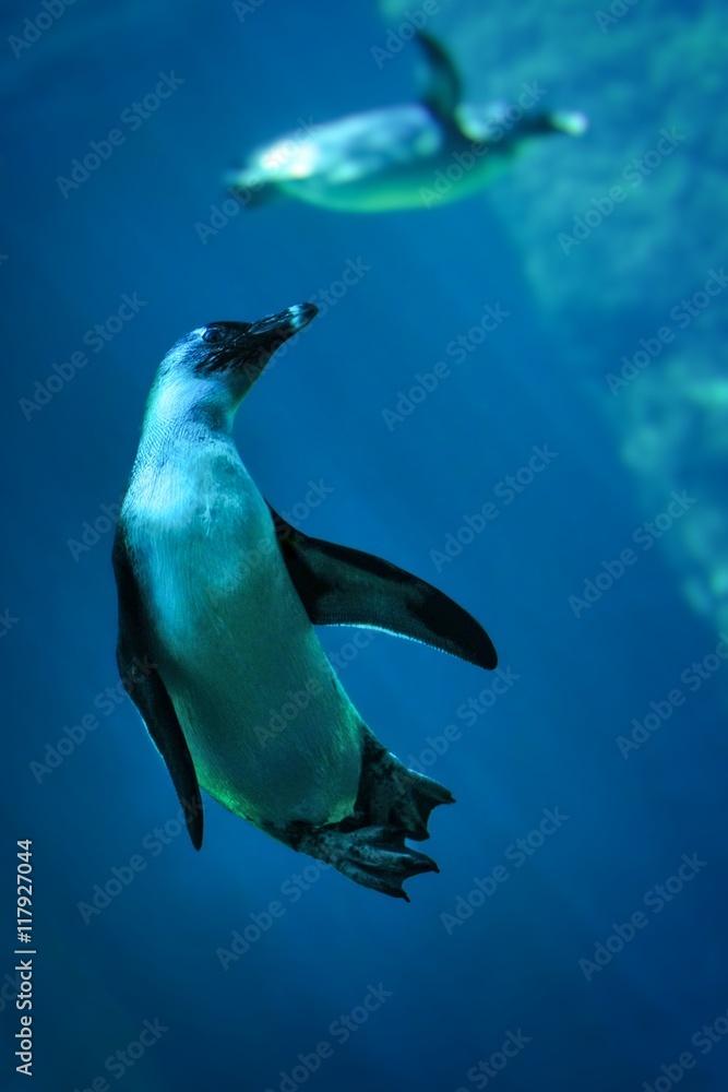 Fototapeta Nurkujące pingwiny-zdjęcie pod wodą