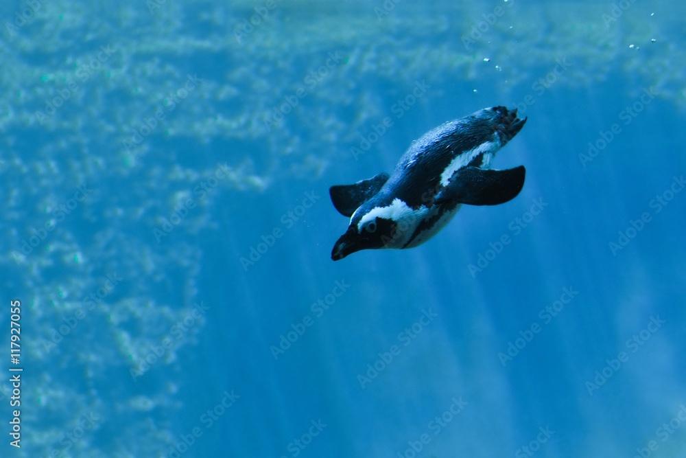 Fototapeta nurkujący pingwin-zdjęcie pod wodą