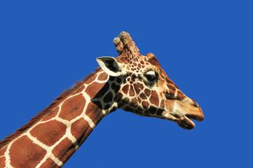 Żyrafa z profilu-łeb i szyja na tle błękitnego nieba