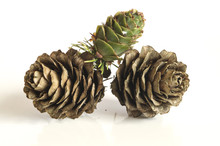 Closeup Of A Larch Cones. Isol...