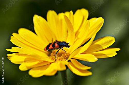 Fotografía  insecte sur fleur de souci