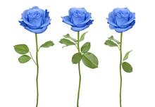 Trio Blue Roses