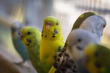Parakeet Closeup Portrait