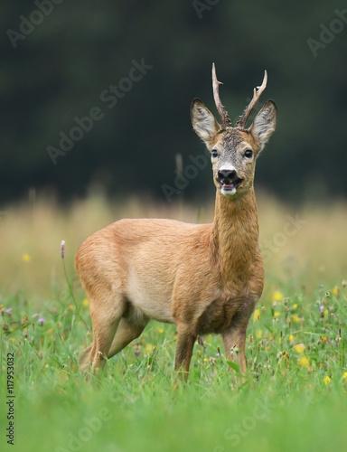 Papiers peints Roe Roe deer