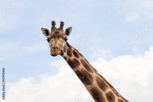 Vászonkép  Giraffe portrait wild zoo. Close up shot.