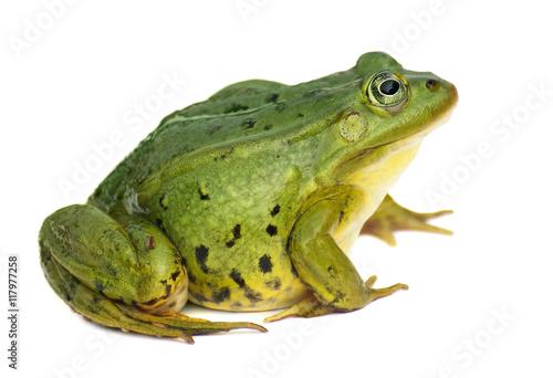 Foto op Plexiglas Kikker Rana esculenta. Green ,European or water, frog on white background.