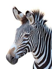 Fototapeta na wymiar Zebra Portrait Isolated on White