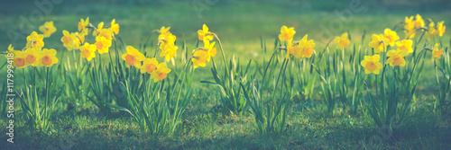 Photo Beautiful flowers of yellow daffodils