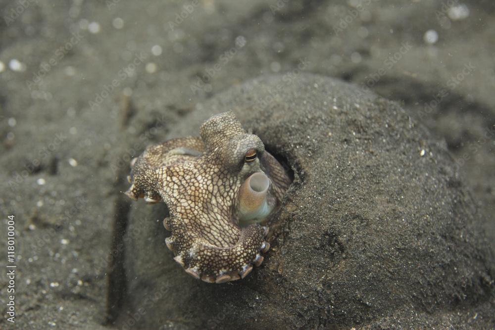 Fototapeta podwodny świat - ośmiornica kokosowa wystaje ze skorupy kokosa
