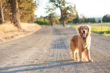 Golden Retriever Dog Walking O...
