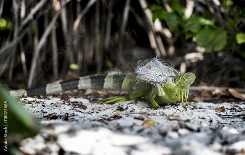 Fotografie, Obraz  iguana reptando en su ambiente