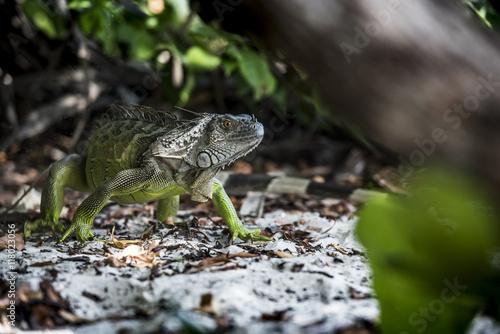 Iguana reptando en su ambiente