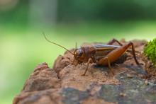 Close Up House Cricket (Acheta...