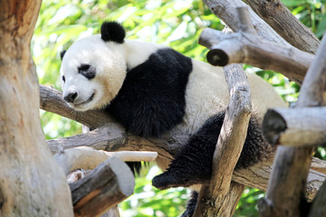 FototapetaPanda Resting in a Tree