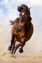 Bay Pony Run Gallop In Desert Dust Against Blue Sky