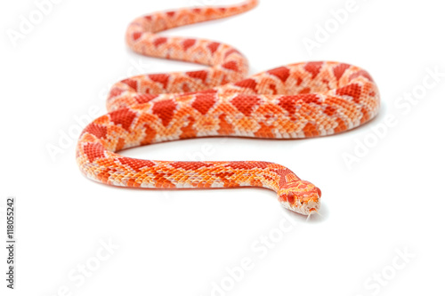 Carta da parati Albino corn snake (Red Rat Snakeon) on white background