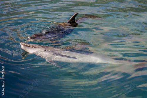 Foto op Aluminium Dolfijn Dolphin playing in the sea