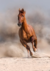 Red horse run fast in desert dust