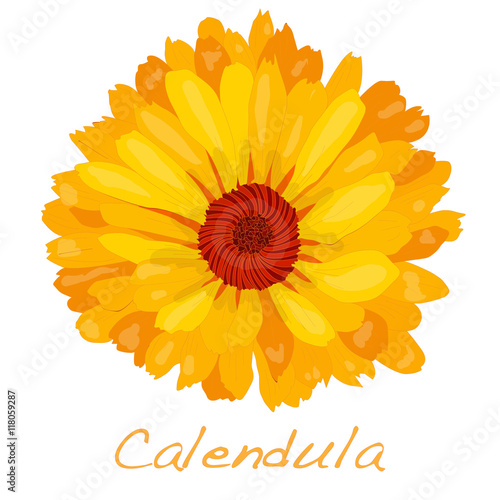 Fotomural  Calendula vector illustration