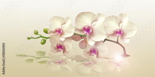 biala-orchidea-z-odbiciem-na-kremowym-tle