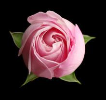 Beautiful Pink Rose Bud On Black Background