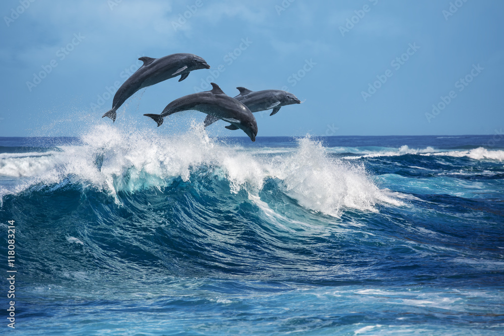 Fototapeta Playful dolphins jumping over breaking waves. Hawaii Pacific Ocean wildlife scenery. Marine animals in natural habitat.