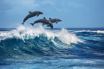 FototapetaPlayful dolphins jumping over breaking waves. Hawaii Pacific Ocean wildlife scenery. Marine animals in natural habitat.