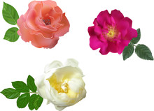 Three Colors Brier Flowers Col...