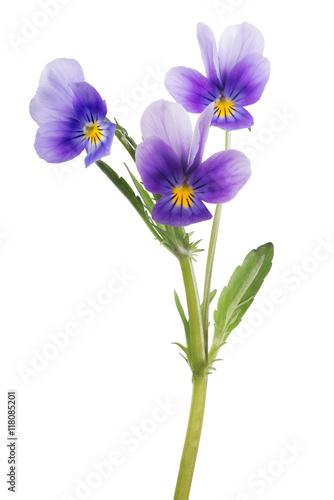 Papiers peints Pansies three pansy lilac blooms on green stem