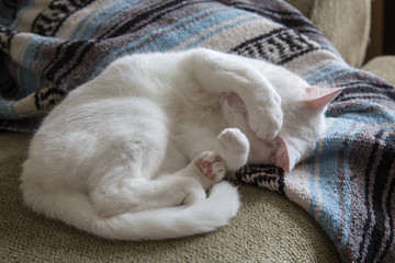 Fototapeta na wymiar White cat curled up on couch
