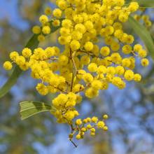 Australian Icon Golden Wattle ...