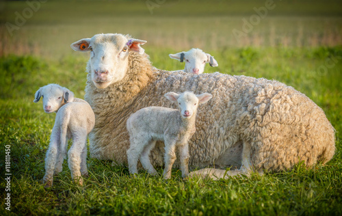 Cadres-photo bureau Sheep sheep and 3 lambs