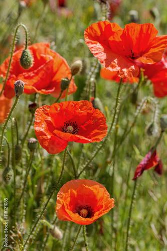 Fotobehang Poppy Red poppy flowers on the spring field in bright sunny day