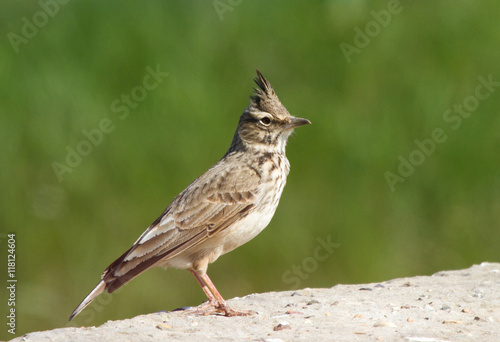 Fotografija Crested lark (Galerida cristata) on the stone