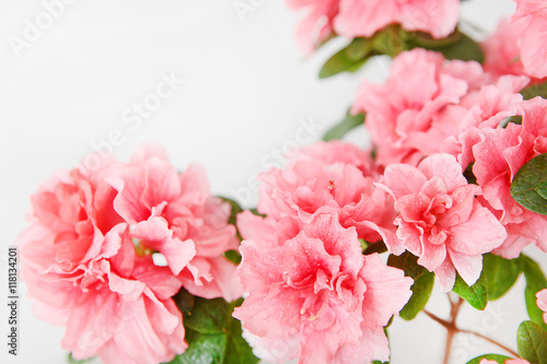 In de dag Azalea Pink azalea blossom