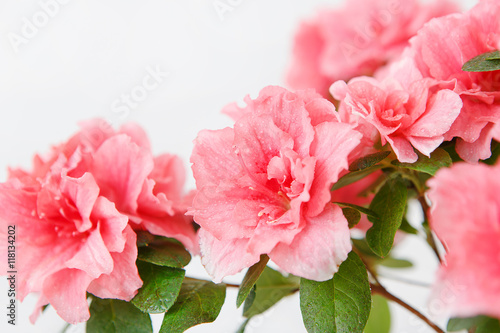 Papiers peints Azalea Pink azalea blossom