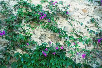 Fototapeta Wiejski Old wall overgrown by climbing flowers