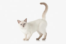 Kitten. Thai Cat On White Background