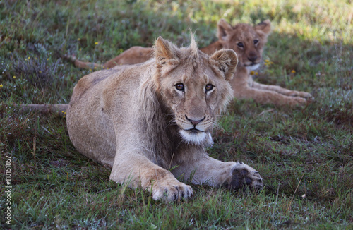 Young Male African Lion Guarding Young Lion Cub