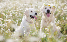 Two Young Dogs Of The Breed Golden Retriever On A Hot Summer Day On A Walk In A Blooming Field Of White Daisies,kind Brown Eyes And Pink Tongues On The Head Of One Dog-a Wreath Of Wildflowers