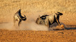 canvas print picture - Two male blue wildebeest Connochaetes taurinus) fighting for territory, Kalahari desert, South Africa.