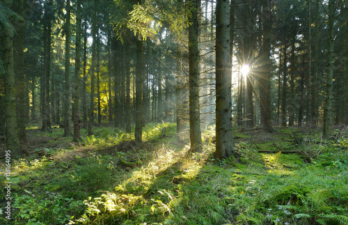 Wall Murals Forest Spruce Tree Forest, Sunbeams through Fog Creating a Mystic Atmosphere
