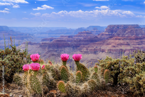 A prickly pear cactus proudly displays its vivid pink blossoms.on the Grand Canyon Rim.