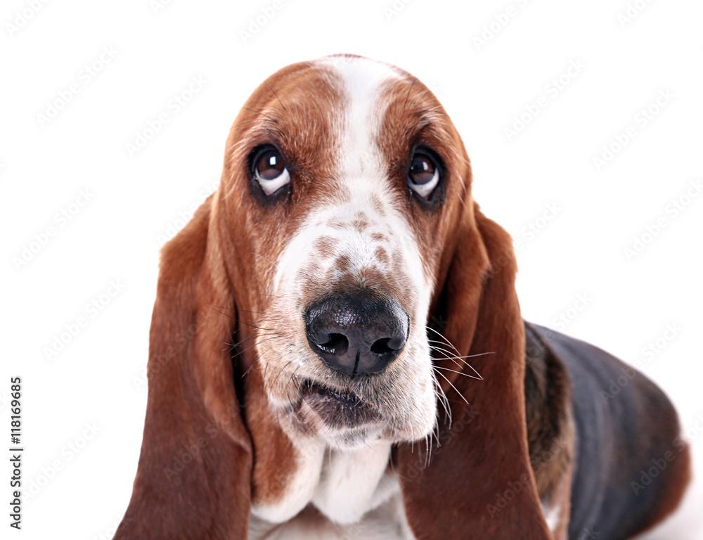 Fototapety, obrazy: Basset hound dog on white background